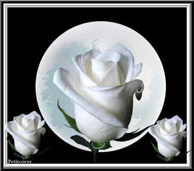 Roses blanches - Langage des fleurs rose blanche ...